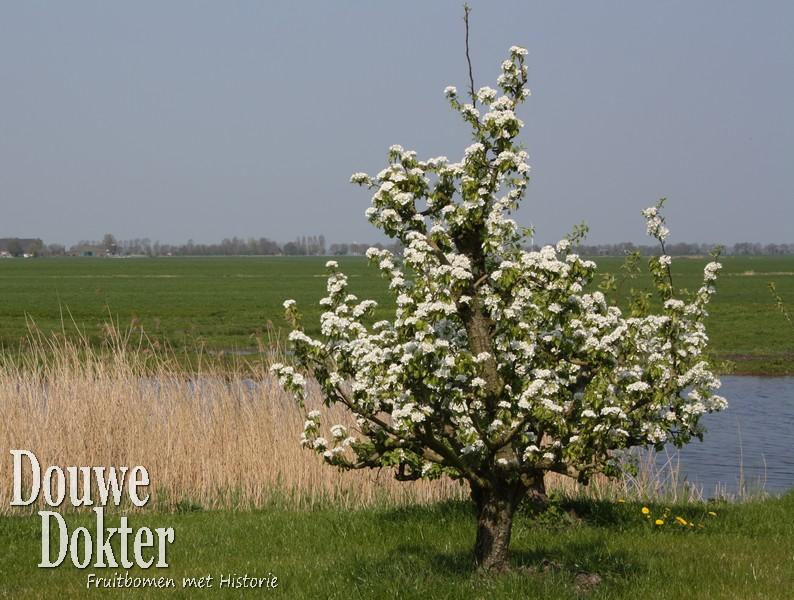 Assortiment oude perenbomen van Douwe Dokter: Conference handpeer, laagstam 50 jaar oud volop in bloei