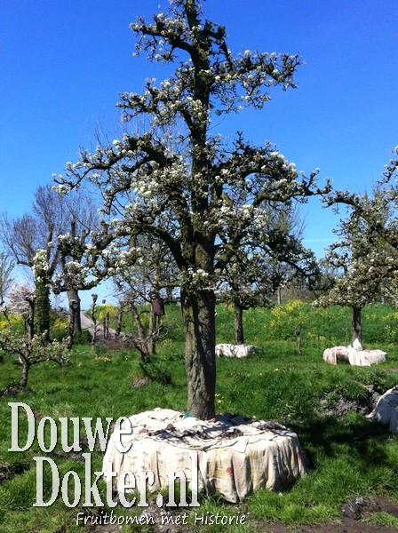 Assortiment oude perenbomen van Douwe Dokter: Exclusieve Legipont hoogstam handpeer nr. 10051 uit 1937 in het voorjaar